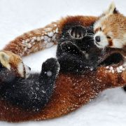 Two Red Pandas look tangled up as they play in the snow.