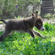 Baby donkey goes for a trot