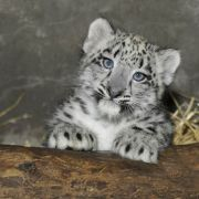 Two-month-old snow leopard cub at the Brookfield Zoo