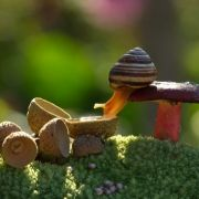 Snail drinking water from an acorn