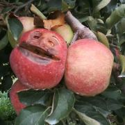I was picking apples in the orchard when suddenly....