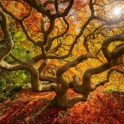 Japanese Maple Tree- Portland Oregon - Photo by Protik Hossain