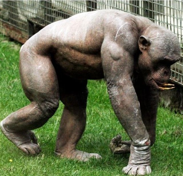 Hairless chimpanzee, no wonder they are so lethal. - Fresh.mx