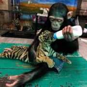 Baby chimp, Dodo feeds 60 day old tiger cub Aorn.