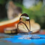Translucent Glasswinged Butterfly
