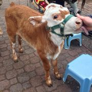 today there was a baby cow at school. and it was fucking awesome.