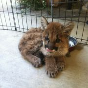 A baby mountain lion!