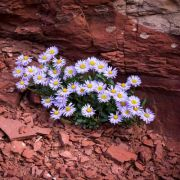 Daisies growing straight out of the rock at 13,000ft