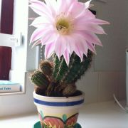 Our cactus at work which flowers for 24 hours a year! Made my morning.