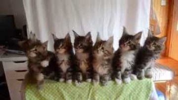 7 synced kittens
