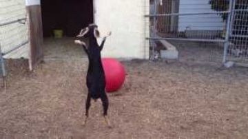 Best Use For A Yoga Ball, According To My Goats.