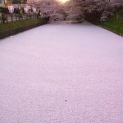 River in Japan filled with cherry blossom petals