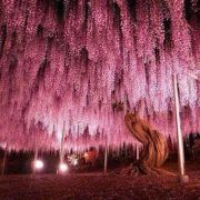 150 year old wisteria tree.