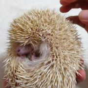 I found a ticklish hedgehog video. You're welcome!