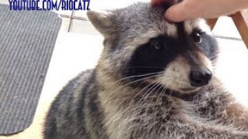 Fred the Friendly Raccoon