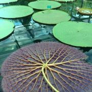 This is what the underside of a Lilly Pad looks like