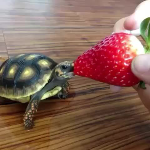 Baby Turtle Eating a Strawberry