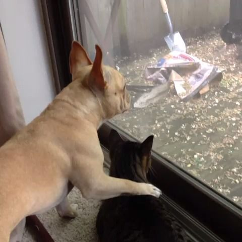 French Bulldog and Kitty always hug when they survey the Chipmunk family outside.