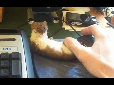 Ozzy the Weasel in: No Gaming For You