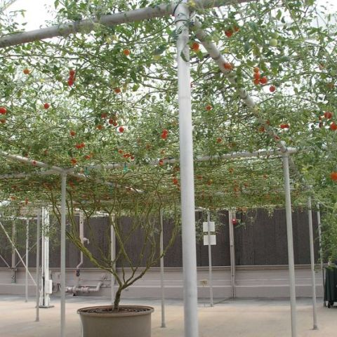 This is one single tomato plant