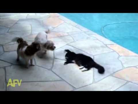 One cat overpowers two nasty Dogs