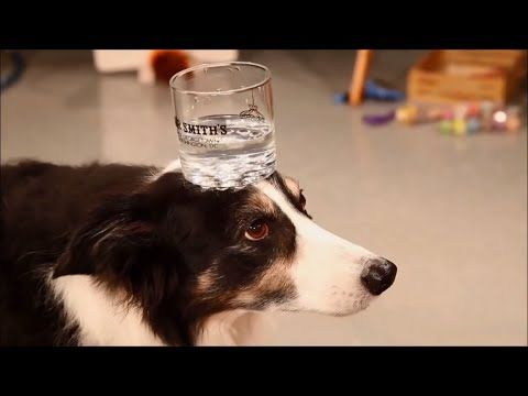 The Amazing Dog Shows Off His Awesome Tricks