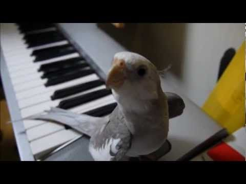 Cockatiel singing Totoro