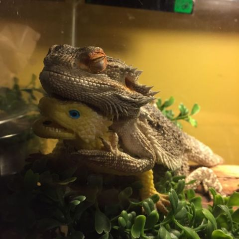 We gave our bearded dragon a toy lizard, now he's attached and won't leave its side ever this is how he sleeps every day
