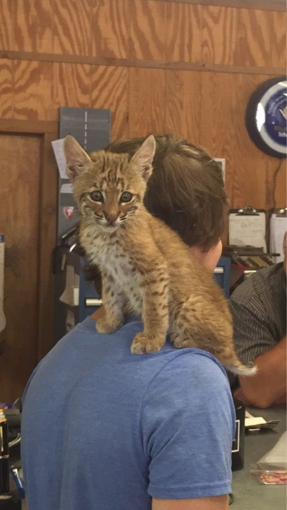 A high school kid in my hometown found an orphaned bobcat. He loves his perch.