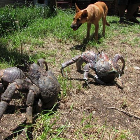 Coconut Crab, the Mother of Nopes.