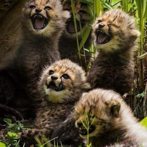 Cheetah brothers must have heard a good joke