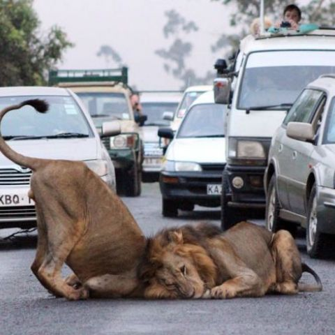 Traffic comes to a standstill as two lions decide to roll around in the middle of a road on the edge of the Nairobi National Park in Kenya. Commuters were forced to watch the ten-minute display, before the lions left the road. by Gareth Jones