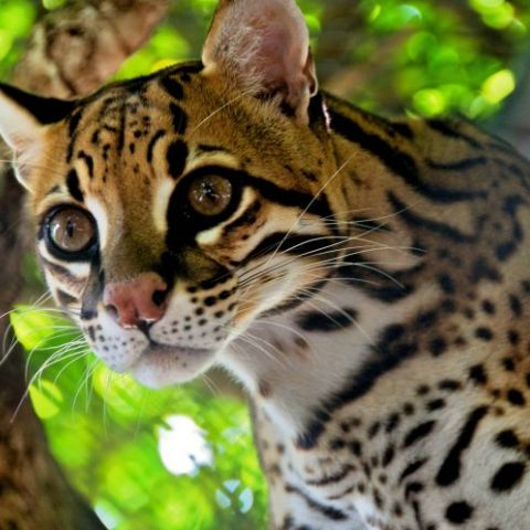 Ocelots are fucking gorgeous.