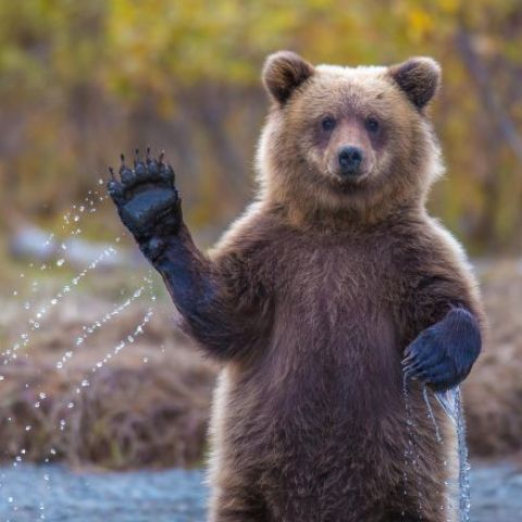 A bear waving.