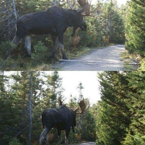 People don't realize just how huge moose can get. (they are the largest member of the deer family)