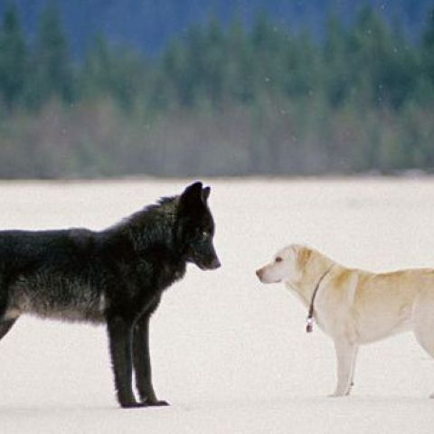 Wolf compared to labrador