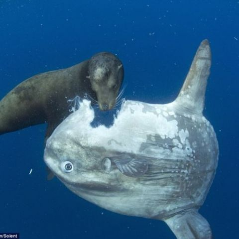 Sea lion takes bite out of a sun fish like it's a giant cookie