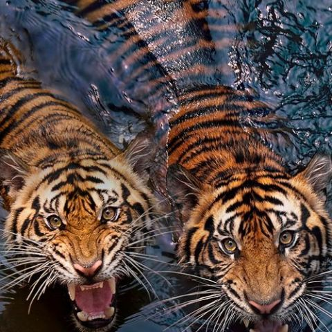 Swimming tigers.