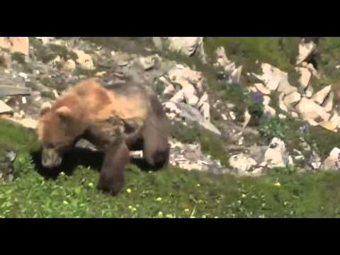 Grizzly Bear Has Heart Attack, Falls To Her Death
